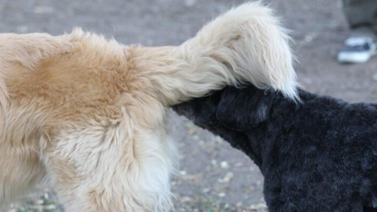 Kas yra šuns analinės liaukos?