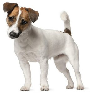 Jack-Russell-Terieras