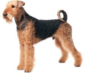 erdelterjeras-Airedale-Terrier-5