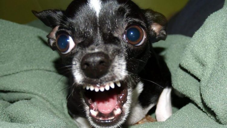Dar kartą apie šunų agresiją