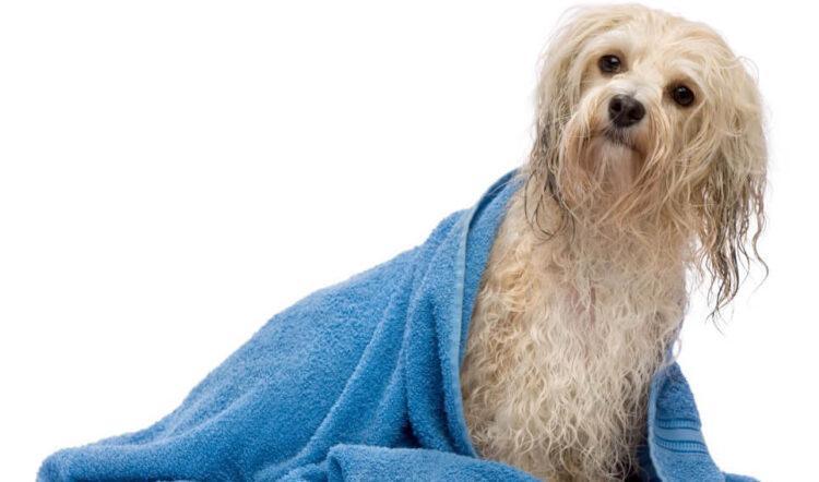 Kaip dažnai turėčiau maudyti savo šunį?